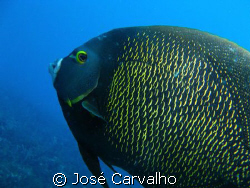 French Angelfish (Pomacanthus paru) - Shot at Barreirinha... by Jos&#233; Carvalho 